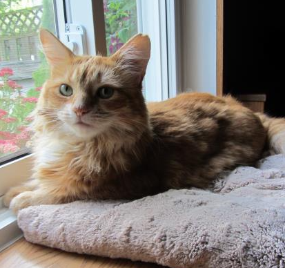 An orange adult cat sits on a cat bed by a window. She has medium-length hair, green eyes and pointy ears.