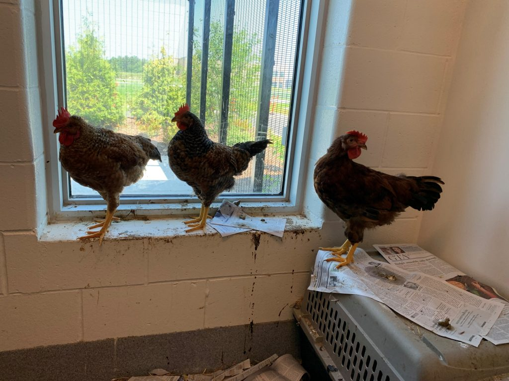 This trio consisted of two hens and one rooster.